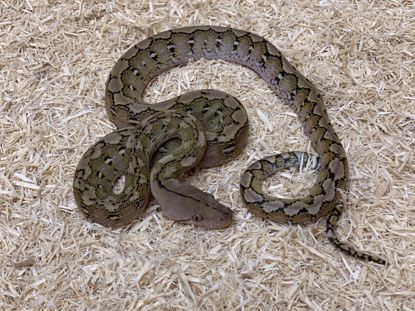 Picture of Male Dwarf Platinum Reticulated Python